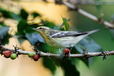 Close up of a small yellow and gray bird on a thin branch