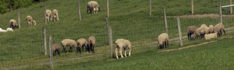 Sheep in a field.
